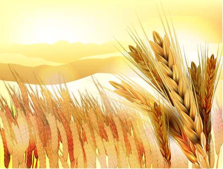 Wheat ears in front of wheat field Stock Photo