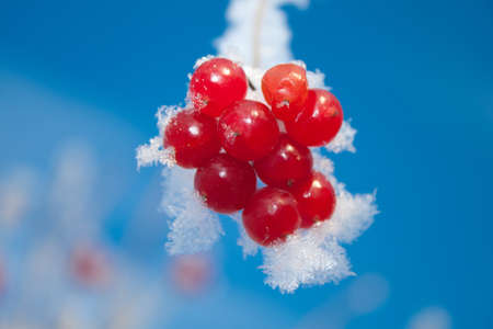 Viburnum berries covered with snow photo