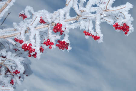 Viburnum berries covered with snow