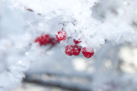 Viburnum berries covered with snow  photo