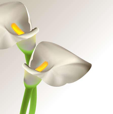 muguet fond blanc: Calla fleurs Illustration