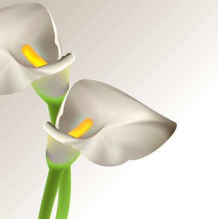Calla flowers Vector