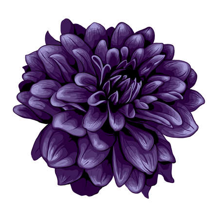 dahlia flower: Dahlia illustration