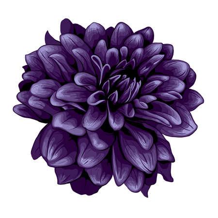 dalia: Dahlia ilustración