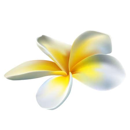 plumeria on a white background: Frangipani flower Illustration