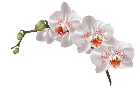 Witte orchidee bloemen Stock Illustratie