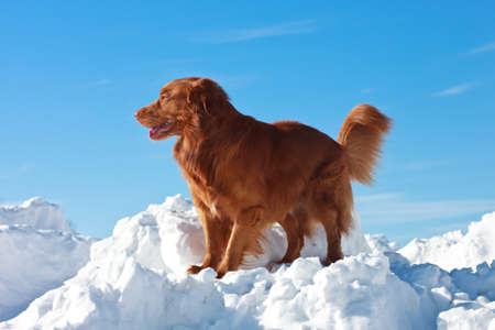 Nova scotia duck tolling retriever  Dog on snow mountain  photo