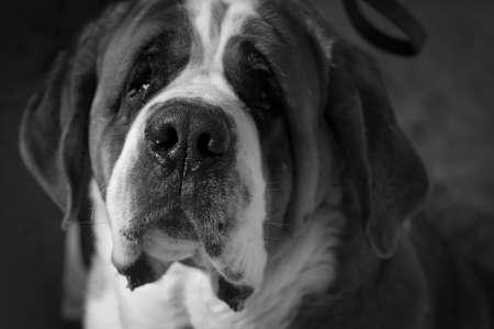 chien: St  Bernard dog