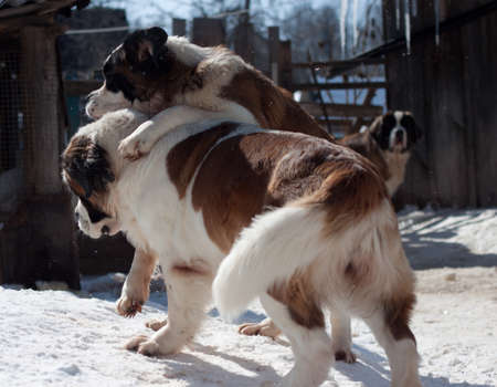 St  Bernard dog  Stock Photo - 18766634