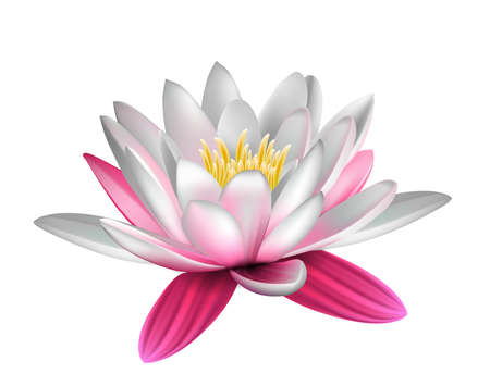 pink lily: Water lily isolated