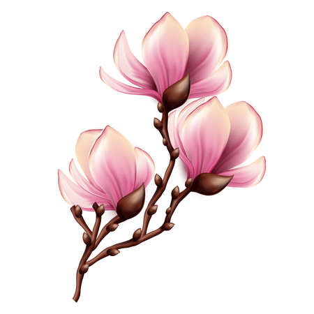 the magnolia: Magnolia branch isolated