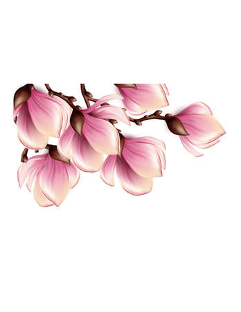magnolia flower: Magnolia branch isolated