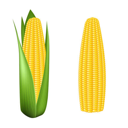 Corn cob with green leaves Vector
