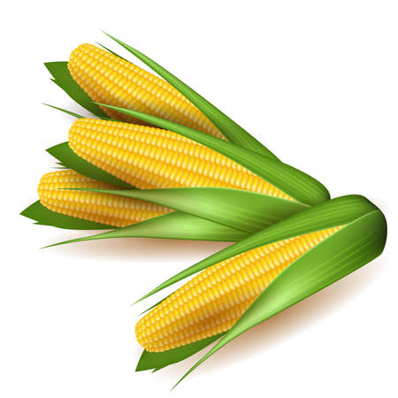 corncob: Corn cobs with green leaves Illustration