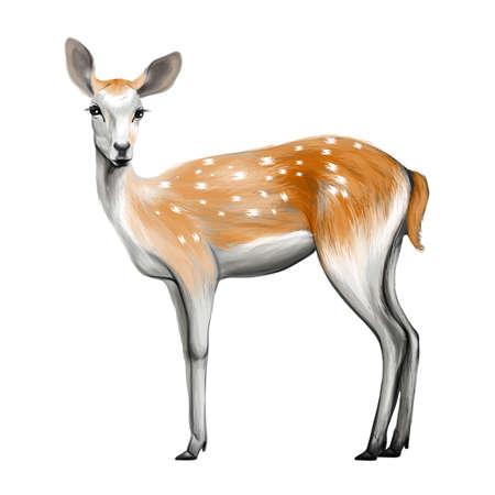roe deer: Deer isolated