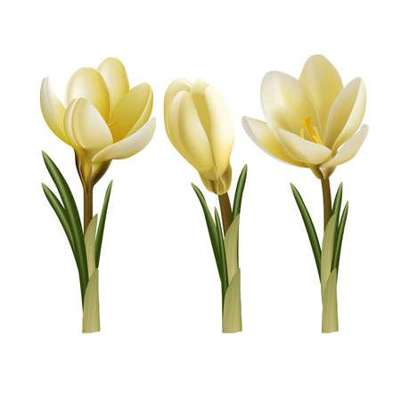 early spring: Crocus flowers