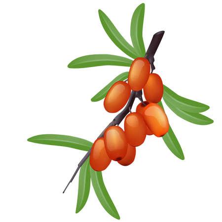buckthorn: Sea buckthorn branch with berries