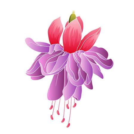 fuchsia flower: Fuchsia flower isolated