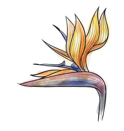 strelitzia: Strelitzia reginae isolated Illustration