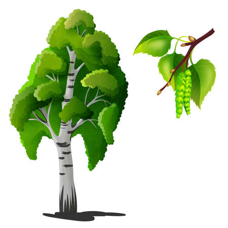 tree isolated: Birch tree isolated Illustration