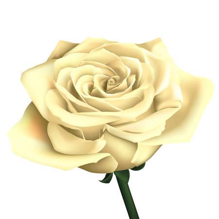 pale cream: Realistic white rose Illustration