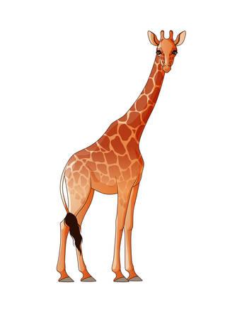 ungulate: Realistic giraffe isolated