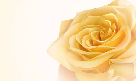 pale cream: Realistic yellow rose Illustration