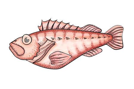 perch: Realistic ocean perch illustration