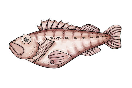 the perch: Realistic ocean perch illustration