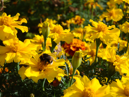 tagetes: Bumblebee on the tagetes flowers