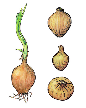 onions: Hand drawn set of onions.