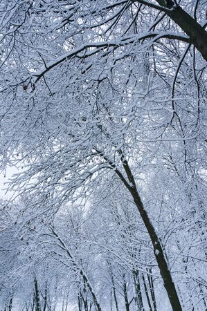 white winter: Fabulous winter background with tree branches. Stock Photo