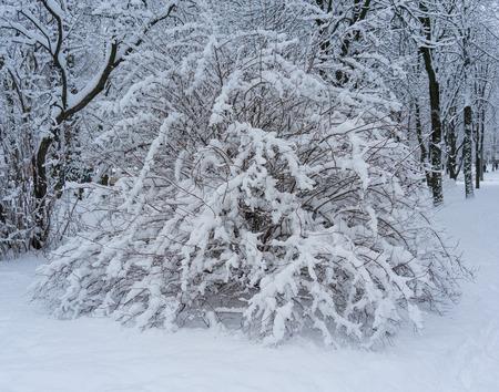 snowbound: Fairytale winter background with snowbound bush. Stock Photo