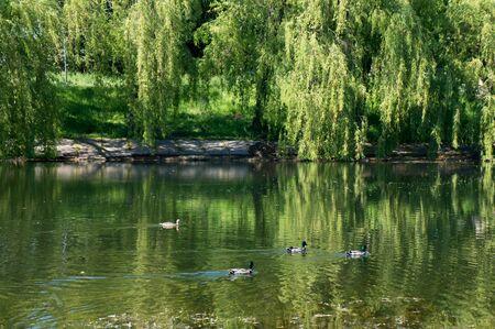 アヒルと夏の晴れた日にミンスクで都市小さな湖。