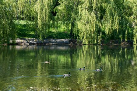 Urban small lake in Minsk at summer sunny day with ducks.