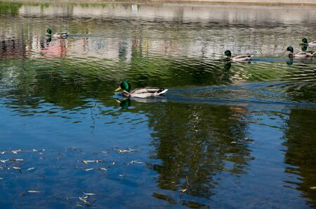 Ducks swimming in urban small lake at summer sunny day. 스톡 콘텐츠