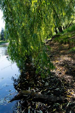 夏の晴れた日に都市の小さな湖の海岸の近くの柳の枝。