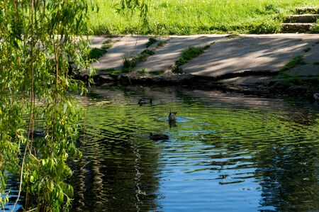 都市の古い湖のアヒルと夏の晴れた日に。