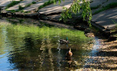 アヒルと夏の晴れた日に都市の小さな湖。 写真素材