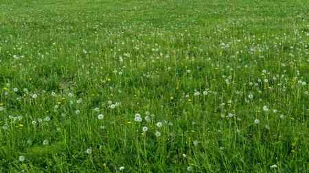 緑の夏 blowballs と雑多な草。