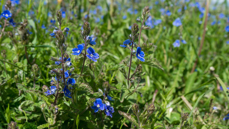 野生の忘れな草の花背景。Myosotis 写真 写真素材