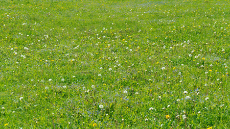 Green summer background with blooming dandelions and wild forget-me-not flowers.