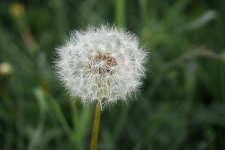 緑の背景に Blowball。タンポポの花
