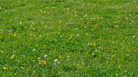 緑の夏咲くタンポポで雑多な草の背景。 写真素材