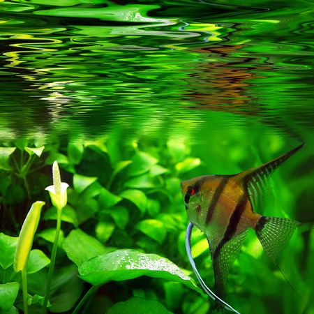 scalare: Pterophyllum scalare   Stock Photo