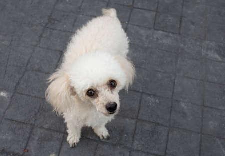 white poodle: White Poodle dog Looking Upward on the Black Floor