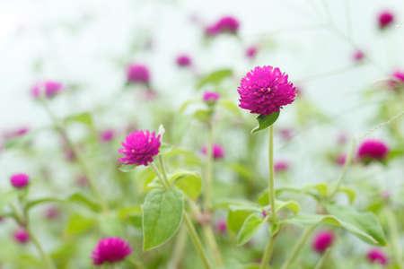 globosa: gomphrena globosa, purple flowers