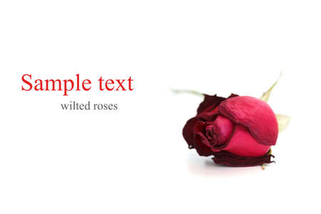 wilted: wilted roses white background