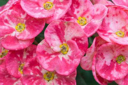corona de espinas: Corona de espinas, flor de la espina Foto de archivo
