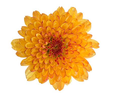 Blume Chrysantheme orange Farbe auf weißem Standard-Bild